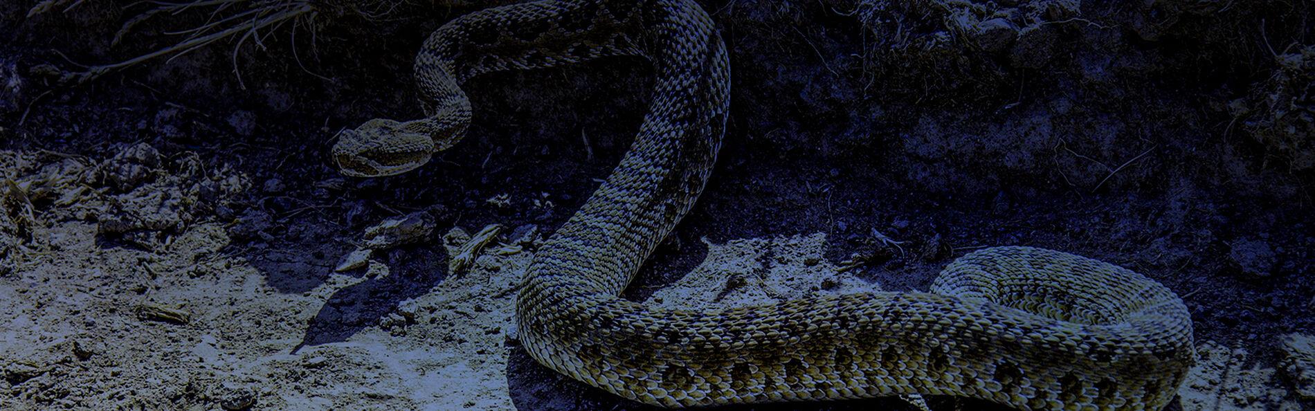 rattlesnake with blue overlay