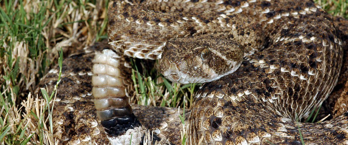 Rattle snake laying in the grass