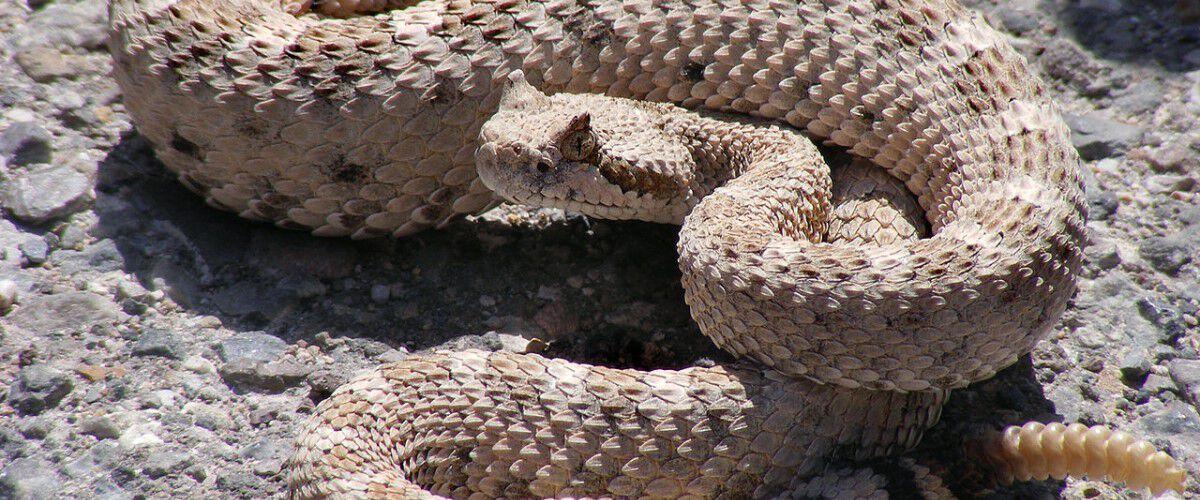 Rattlesnake laying on the ground