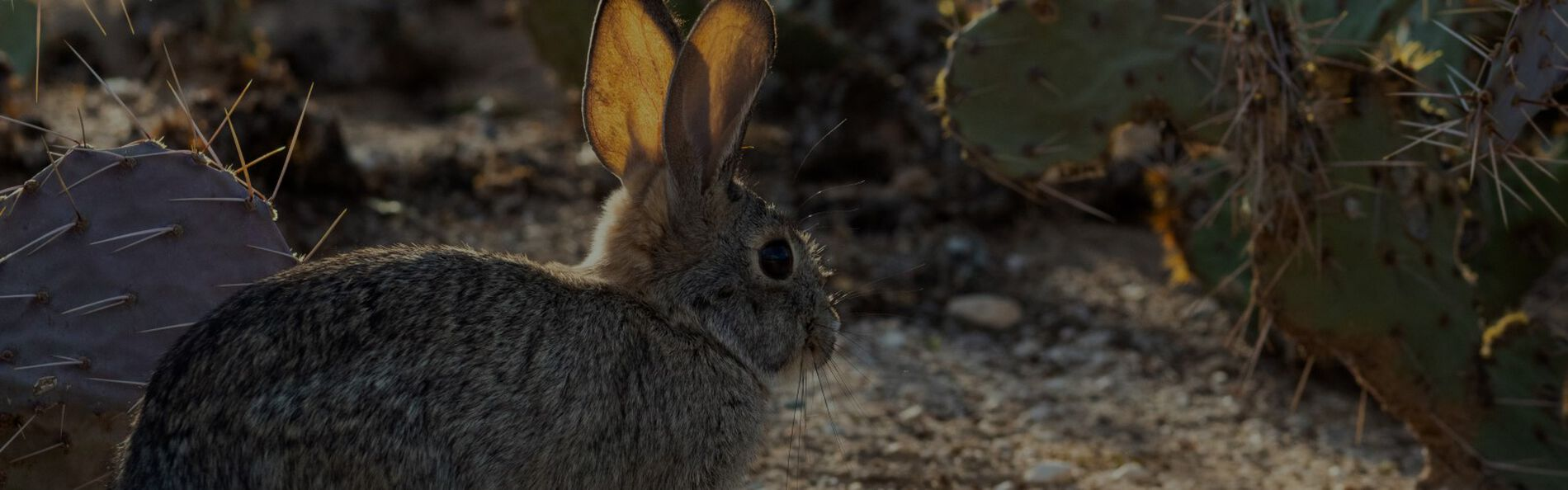 Cottontail standing infront of cactus
